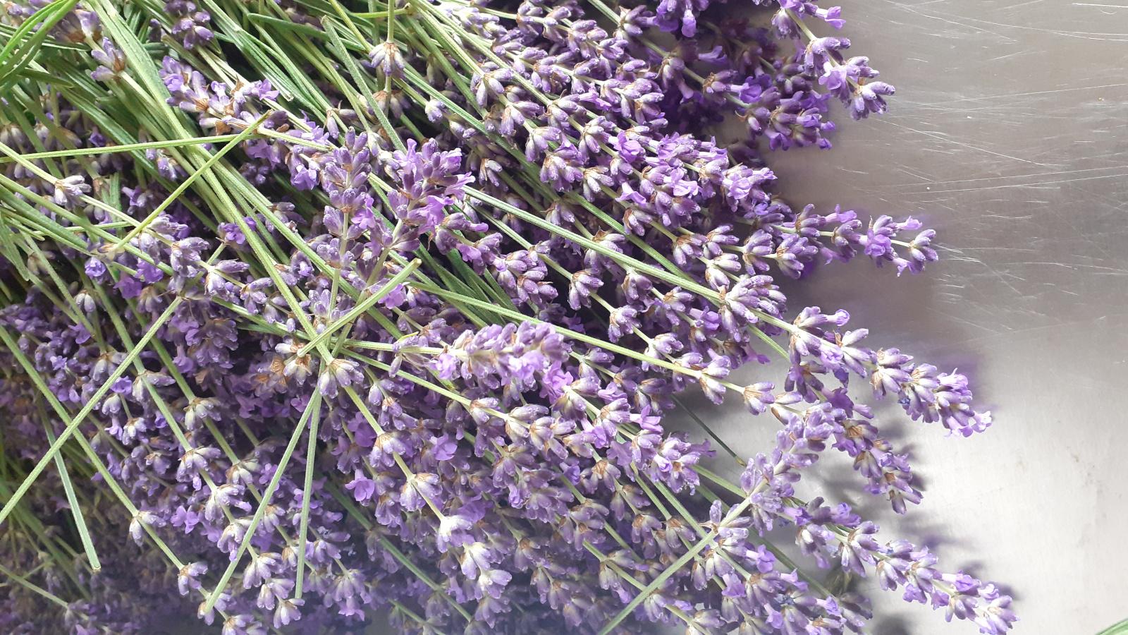 Lavendel frisch-1600-900